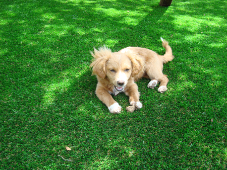 artificial grass dog2